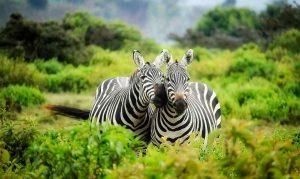 Couple de zèbre en pleine Savane.